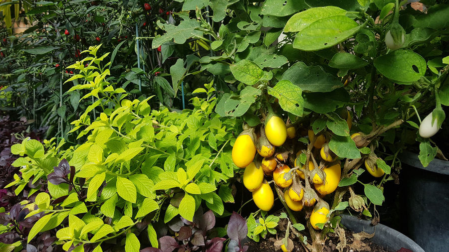 eggplant Healthy Eating Food And Drink Leaf Fruit Plant Part Food Growth Green Color Plant Freshness Wellbeing Nature Day Yellow No People Fruit Tree Close-up Outdoors Tree Ripe