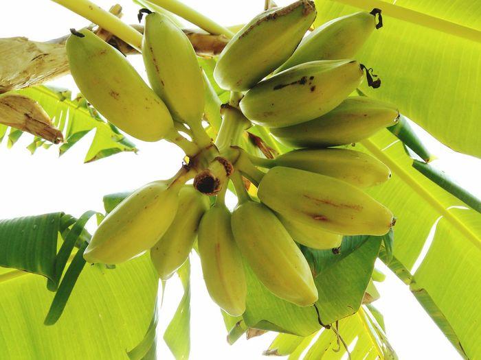 Showcase: November Native Wild Sweet Bananas Banana Tree Island Fresh Picked Grows Wild Big Leaves