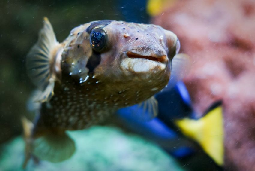Kiss of a Blowfish Porcupinefish Pufferfish Fish Aquarium Theme Park Traveling Tampere Finland