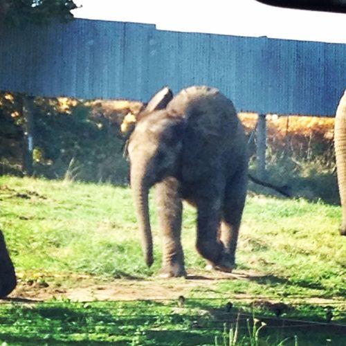Elephant Babyanimals Westmidlandssafari