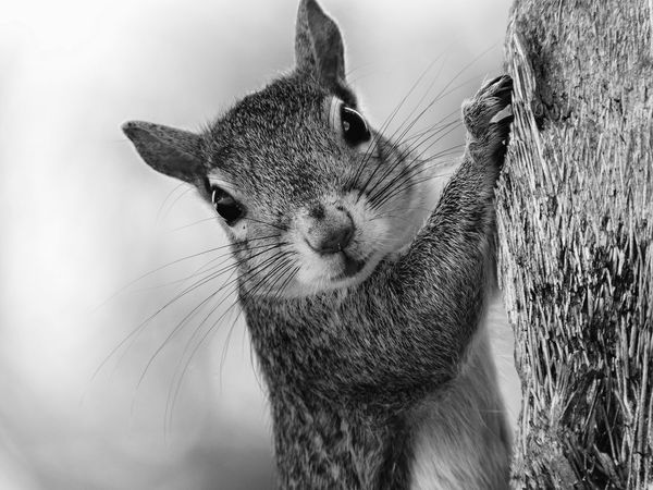 Staring Contest with Squirrel Adorable Alertness Animal Nose Close-up Curiosity Curious Day Eye Contact Focus On Foreground Furry Gray Squirrel Mammal Monochrome Photography Nature No People One Animal Park - Man Made Space Rodent Sciurus Carolinensis Squirrel Staring Staring Contest Tree Whiskers Wildlife