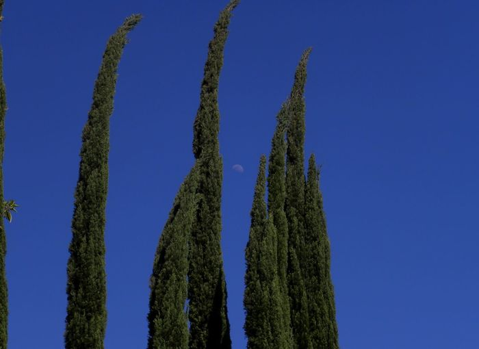 Taking Photos Tree Green Leaves California Outdoors Daytime No People Green Trees Trees Nature Color Photography Blue Sky Blue Skies Trees And Sky Clear Sky Sky Moon Daytime Moon Trees And Moon Trees Moon And Sky Showcase July Colour Of Life Color Palette Eyemphoto