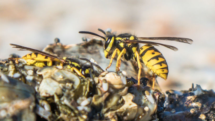 Close-up of wasps against blurred background