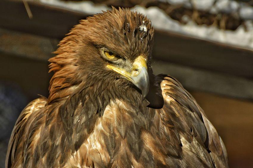 Animal Themes Eagle Side View Zoology зоопарк орел портрет птица