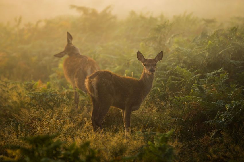 Animal Animal Themes Brown Countryside Day Domestic Animals Field Fog Forest Full Length Grass Herbivorous Hoofed Mammal Horned Livestock Mammal Nature Non-urban Scene One Animal Selective Focus Standing Tranquility Wilderness WoodLand Zoology