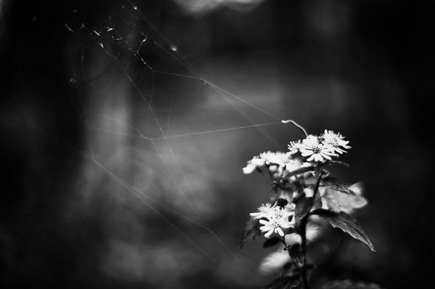 Capture The Moment Darkness Fragility Flower Spider Web Focus On Foreground Nature Close-up Beauty In Nature Light And Shadow Fine Art Photography Getting Inspired Monochrome Blackandwhite Uzuki Of The Flower Tranquility Depth Of Field Taking Photos Full Frame Detail SONY A7ii Oldlens Nikkor EyeEm Best Shots 17_10 EyeEmNewHere Black And White Friday