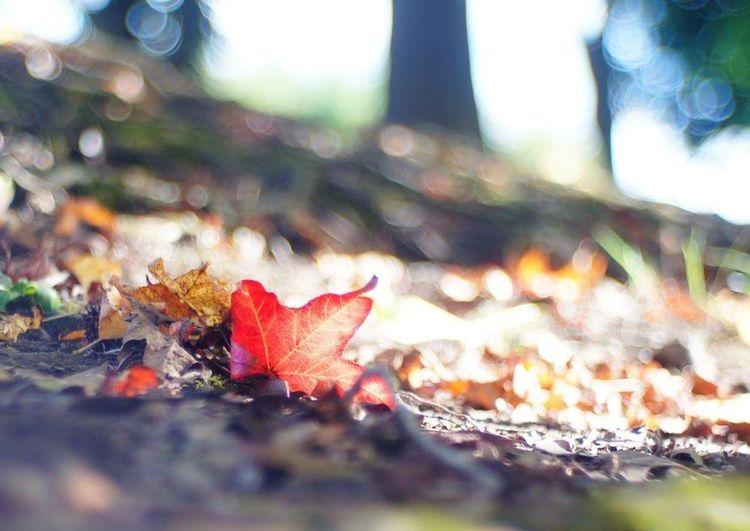 Carl Zeiss Jena Sonnar で写したアメリカフウの落ち葉。70年以上前に製造されたレンズだけど綺麗に写ルンです。 秋 Japan Nature Eye Em Nature Lover