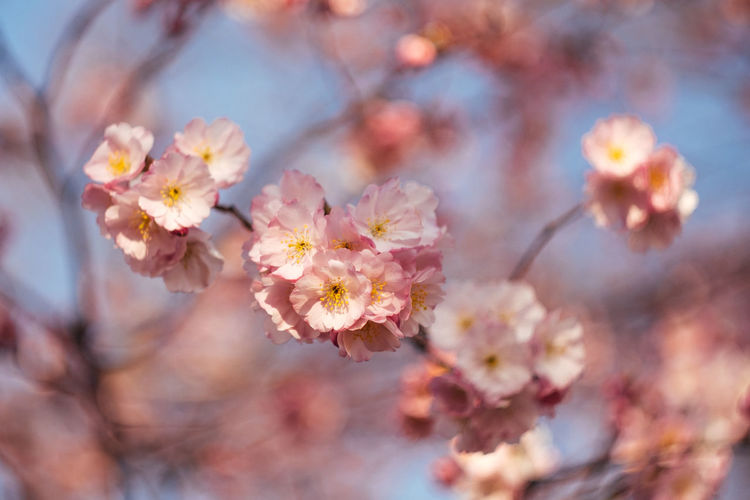 Flower Flowering Plant Freshness Plant Beauty In Nature Fragility Blossom Vulnerability  Pink Color Springtime Close-up Tree Growth Nature Branch No People Day Selective Focus Outdoors Flower Head Cherry Blossom Pollen Cherry Tree Softness Bunch Of Flowers Sakura Hanging Out Munich Olympiapark