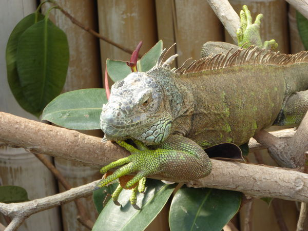 Animal Themes Animal Wildlife Animals In The Wild Branch Close-up Green Leguan Leguan Lizard Nature One Animal Reptiles