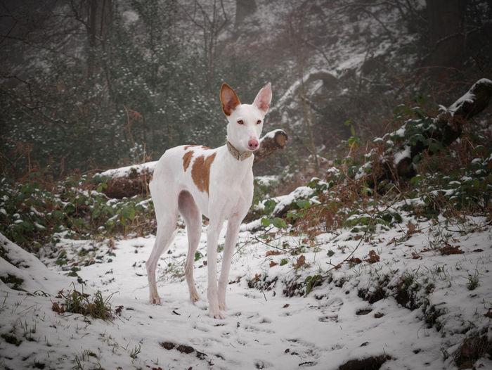Portrait of dog standing on snow