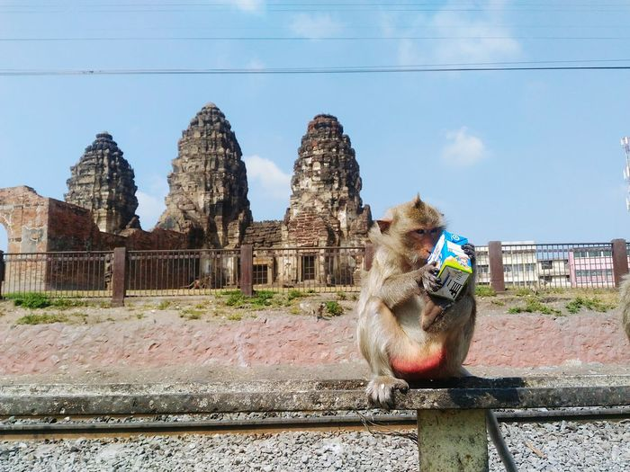 EyeEm Selects History Old Ruin Architecture Built Structure Outdoors Sky One Person People Ancient Civilization Adult Day Monkey Eating Monkey Temple Adults Only Monkey Monkey Love Drinking Milk Animal Themes One Animal Mammal Lopburi Thailand Travel Destinations Travel Photography Taking Photos