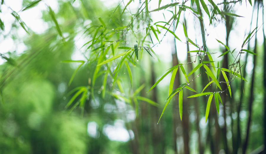 bamboo Green Color Plant Growth Beauty In Nature Nature Selective Focus No People Day Close-up Tranquility Land Outdoors Plant Part Leaf Grass Field Focus On Foreground Freshness Green Tree Blade Of Grass Bamboo - Plant