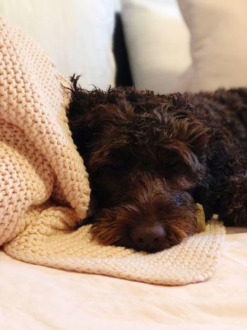 Sleeping 😴 Mammal Pets One Animal Domestic Dog Canine Animal Themes Home Interior Indoors  No People Sleeping Animal Domestic Animals Blanket