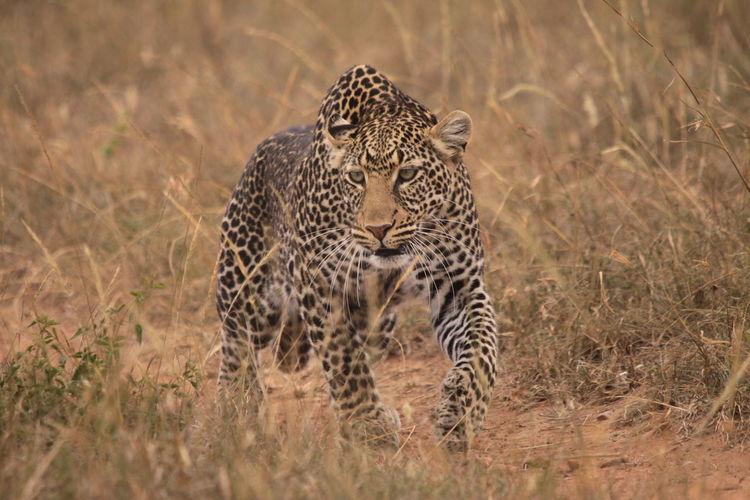 Leopard Walking On Grassy Field