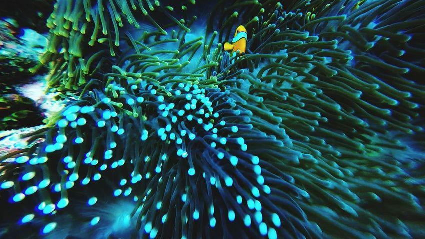 Stunning! Clownfish Ocean Anenome