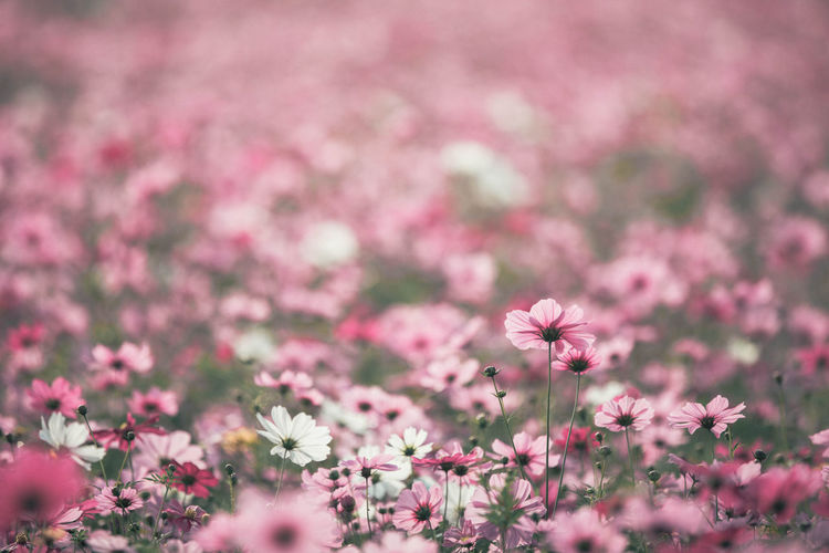 Cosmos Flower Beauty In Nature Close-up Cosmos Flower Day Flower Flower Head Flowerbed Flowering Plant Fragility Freshness Growth Inflorescence Nature No People Outdoors Petal Pink Color Plant Selective Focus Springtime Vulnerability