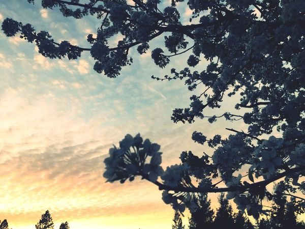 Spring Love Tree Sky Growth Beauty In Nature Cloud - Sky Sunset Nature No People Low Angle View Tranquility Branch Outdoors Scenics Tranquil Scene Day Fragility Pastels Rainbow Sky Plum Tree Blossoms