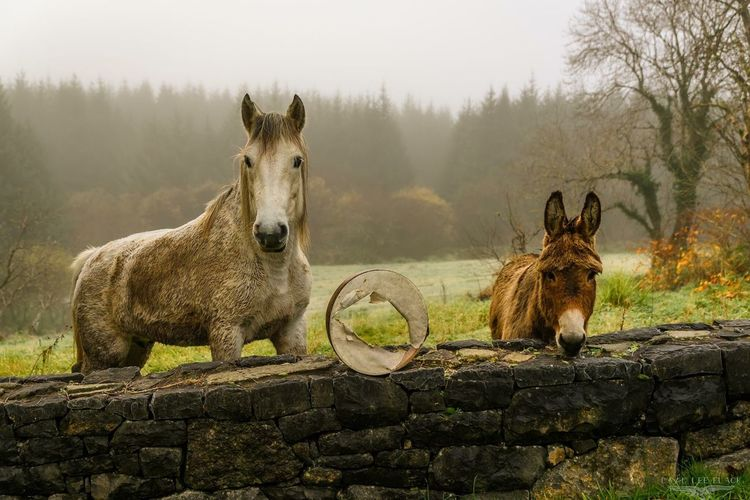 Tree Mammal Nature Fog Animal Themes Portrait Day Domestic Animals No People Cold Temperature Outdoors Beauty In Nature Ireland Horse Donkey