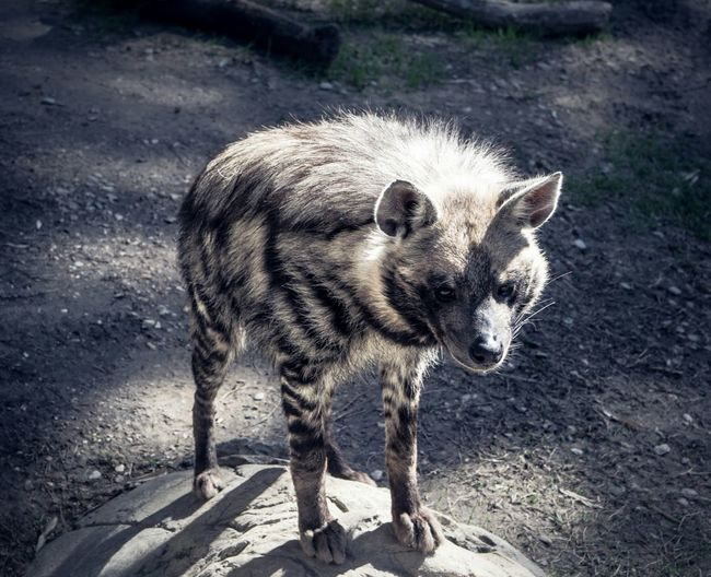 Hyena Alone Standing One Animal Hyena Zoo Animal Themes Mammal Day Outdoors Animal Wildlife No People