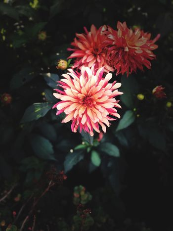 Flower Flower Flowering Plant Plant Vulnerability  Fragility Freshness Beauty In Nature Growth Close-up Petal Pink Color No People Flower Head Inflorescence Outdoors Nature Day Focus On Foreground Plant Part Leaf