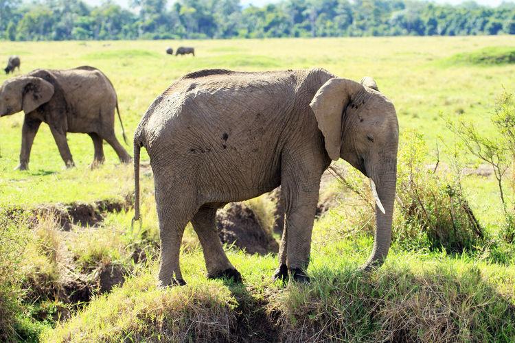 Elephants in farm