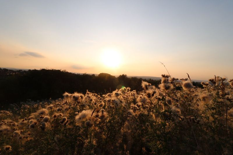Fairies gathering on the hill. Yorkshire Flower Growth Sunset Beauty In Nature Fragility Plant Tranquil Scene Nature Scenics Freshness Sun Tranquility In Bloom Springtime Landscape Uncultivated Botany Non-urban Scene Field Meadow