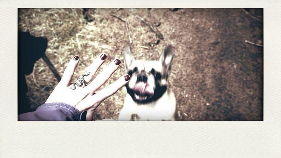 French Bulldog Happy