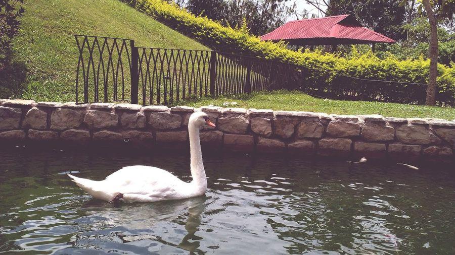Swan Swan Park White Swan Swan Pond Alone Swan Bird Water Swimming Tree Lake Animal Themes Swimming Animal Zoo Animal Neck Water Bird