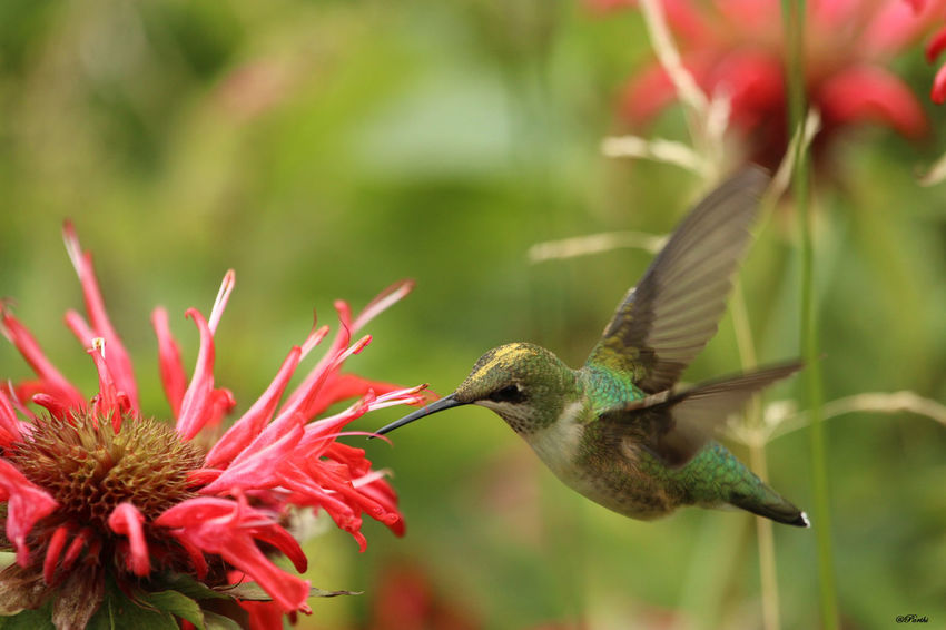 Humming Bird and Bee-balm Animal Themes Animals In The Wild Beak Beauty In Nature Bee-balm Bird Close-up Day Flower Flying Focus On Foreground Fragility Green Color Green Hummingbird Growth Hummingbird Nature No People One Animal Outdoors Plant Spread Wings Wings