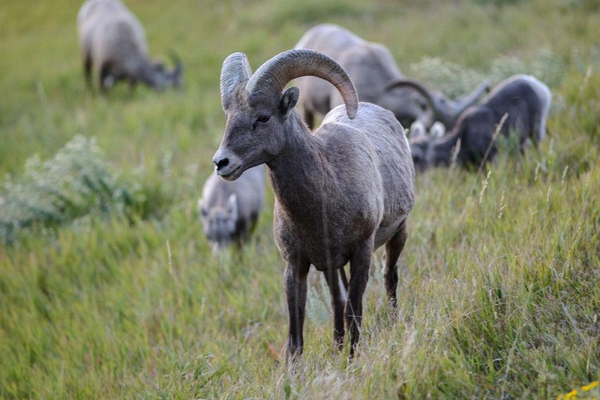 Bighorn Sheep Animal Animal Photography Animals Animals In The Wild Badlands Badlands National Park Bighorn Sheep Grass Horn Horns Sheep Sheeps South Dakota Wildlife Wildlife & Nature Wildlife Photography