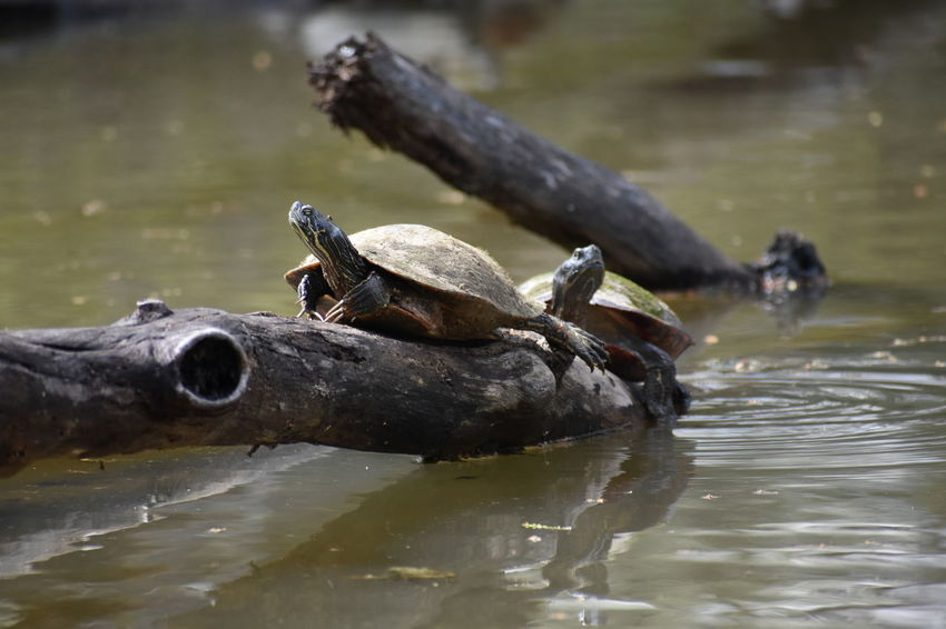 Pond Reptile Turtles Wood Animals Aquatic Reptile Cooter Day Dirty Driftwood Lake No People Painted Turtle Pattern Perching Slider Waterfront Wood - Material