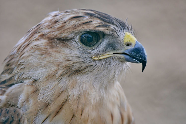 Falcon in the zoo looking at camera