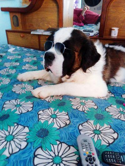 First Eyeem Photo Dog Life Dog Love Saint Bernard Bigger Than Me Cool Dog Cool Pic Nobody Like Him Dog With Shades Dog With Gogles