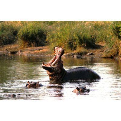 Show of dominance, by a Hippo bull. Natureaddict Animalsaddict Squaredroid Wildlife Krugernationalpark Hippopotamus Igersmp Hippopotamus Africanamazing AcaciaAfrica