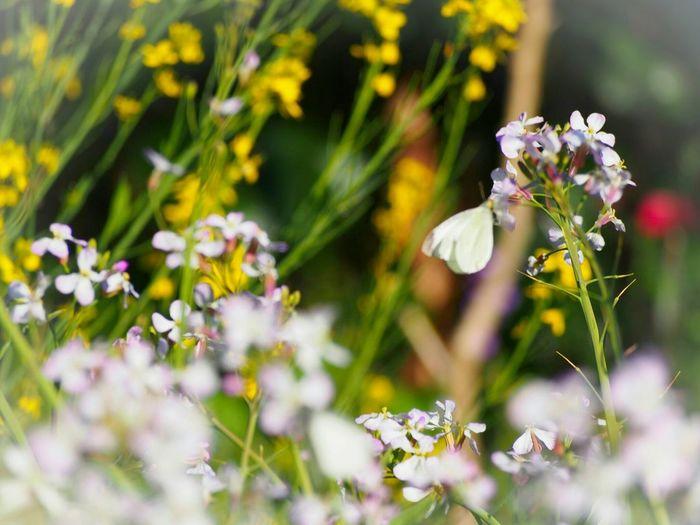 そよ風に揺られながら… Springtime 蝶々 Butterfly Butterfly - Insect さんぽ道 Taking Photos My Point Of View Eyemphotography EyeEm Gallery EyeEm Nature Lover 日だまり EyeEm Best Shots - Nature Spring