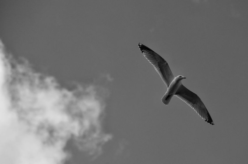 Seagull Gull Sky No People Nature Bird Sea Life Flying Outdoors Beauty In Nature Flight Wings Thermals Flying Bird Soaring Monochrome Black And White Flight Sharp Free Avian Feathered In Flight Freedom