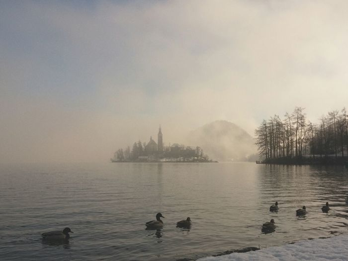 Ducks Swimming On Lake Bled In Foggy Weather
