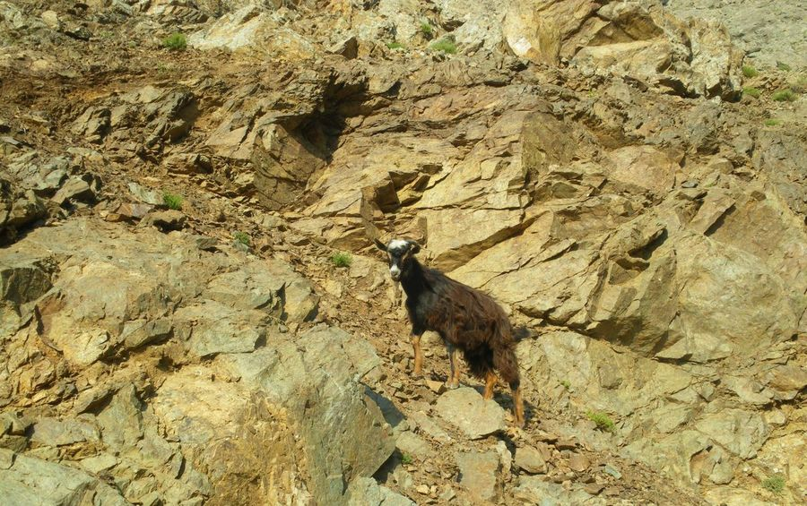One with nature... Animal Animal Themes Brown Domestic Animals Feral Goats Goat Livestock Natural Pattern Nature Photography No Edit/no Filter No Filter No People One Animal Outdoors Physical Geography Rocks Stone The KIOMI Collection Color Palette