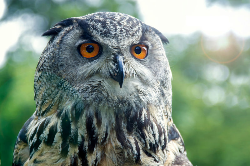 Close-Up Of Eagle Owl