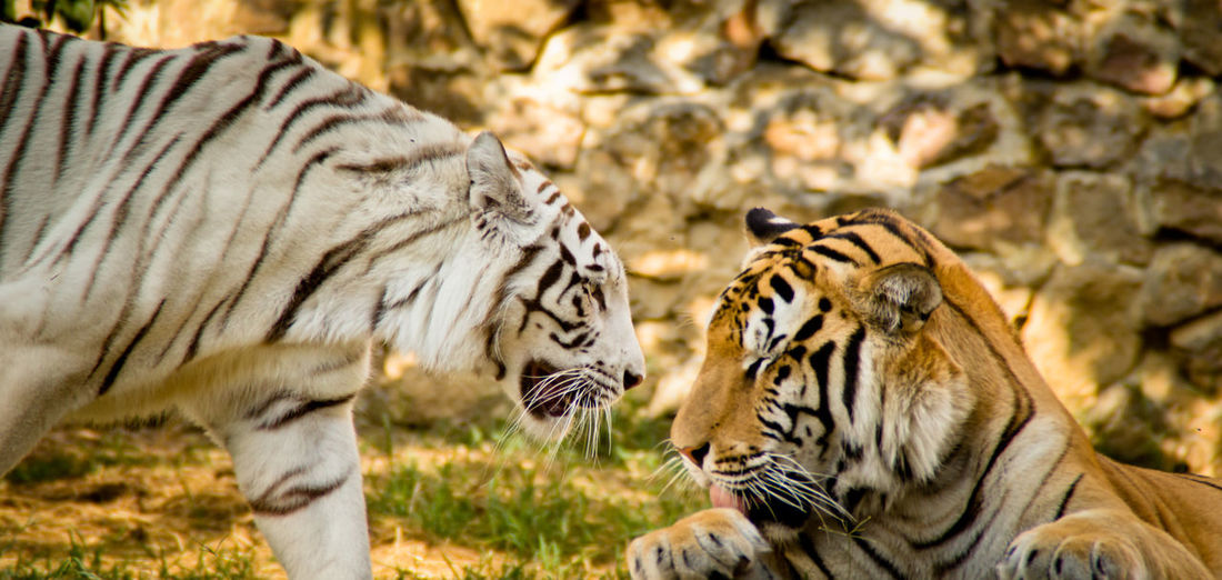 Close-up of tigers in zoo