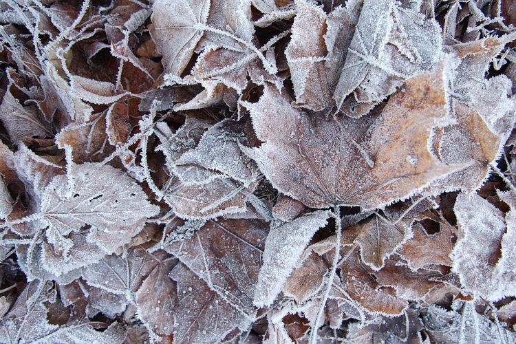 Frosty Leaves Frost Leaves Winter Backgrounds Full Frame Pattern Close-up Cold Frozen Cold Temperature Ice Crystal