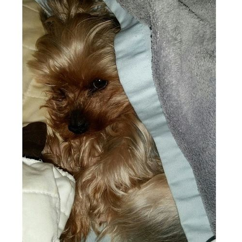 Snuggling with my baby girl today Yorkie Lazyday Dogslife Puppy Love Yorkshire Dog Furbaby Puppy