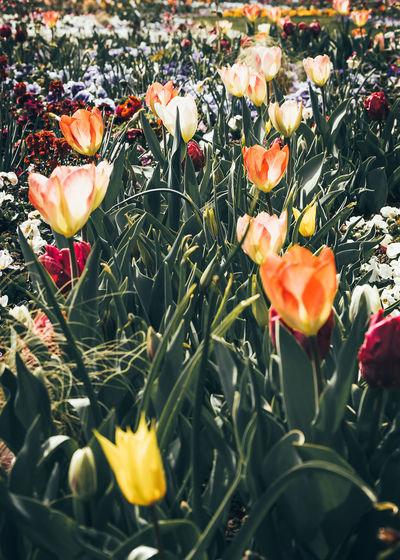 Close-up of orange tulips in field