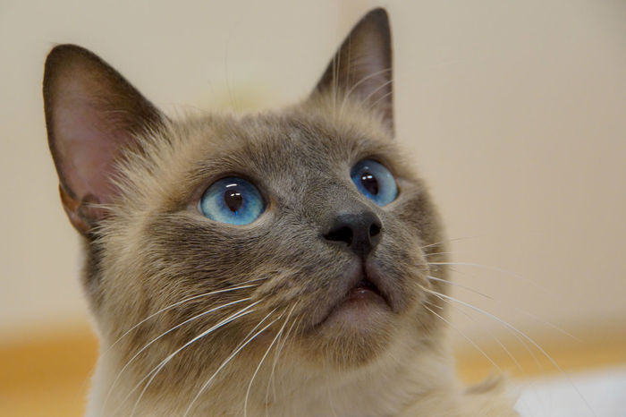 Animal Themes Blue Eyes Close-up Domestic Animals Domestic Cat Feline Indoors  Mammal No People One Animal Pets Seal Point Siamese Cat Thai Cat Thai Cats Vet  Whisker EyeEmNewHere EyeEmNewHere Pet Portraits