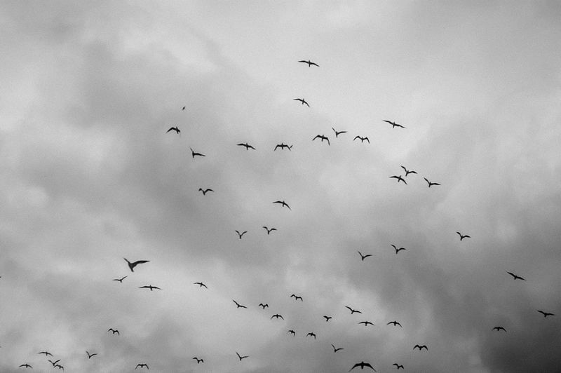 Animal Animal Themes Animal Wildlife Animals In The Wild Beauty In Nature Bird Cloud - Sky Day Flock Of Birds Flying Group Of Animals Large Group Of Animals Low Angle View Mid-air Nature No People Silhouette Sky Spread Wings Vertebrate