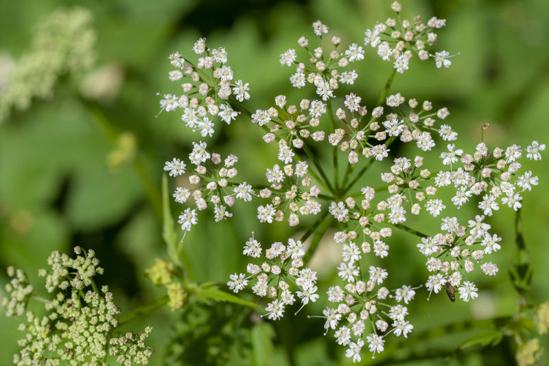 Nature Flower Day Outdoors Plant Growth Fragility Petal Freshness Close-up Beauty In Nature No People Vulnerability  Green Color Inflorescence Selective Focus Flowering Plant White Color Flower Head Focus On Foreground Aegopodium Podagraria Ground Elder