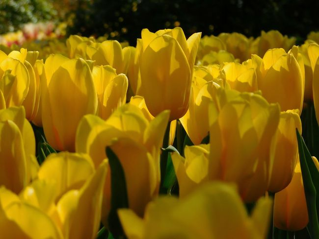 Yellow Flowers Yellow Tulips Tulipmania Vivid Colors Flowers,Plants & Garden Mother Natures Beauty... Field Of Yellow Flower Stand Out From The Crowd