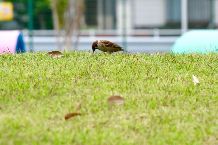 Cute Cute♡ Cute Animals Sparrow Park Lawn Birdwatching Bird Birds Bird Photography Birds_collection 雀 すずめ Low Angle View Naturelovers Nature Photography Nature_collection Nature お散歩Photo 雀ってなんでこんなに可愛いんだろう(*pωq*)