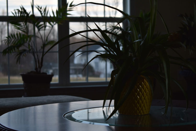 A pineapple plant in a pineapple themed pot. Dark Bokeh Close-up Day Flower Indoors  Nature No People Palm Tree Pineaple  Plant Potted Plant Table Tree Window Windows