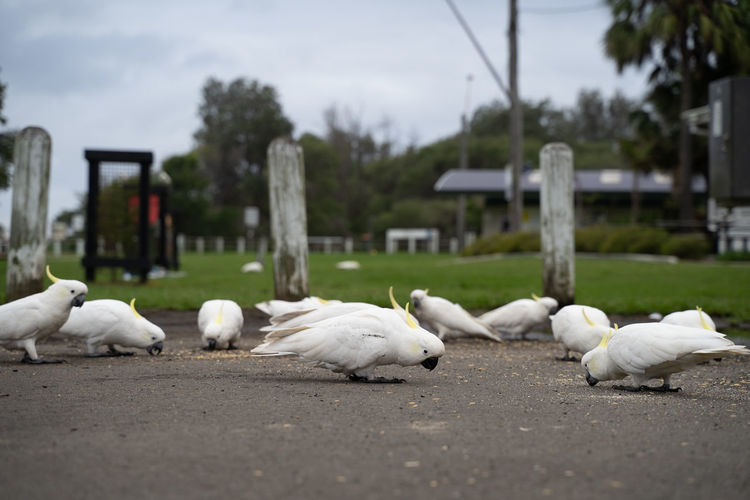 Flock of birds on the street